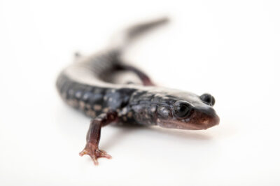 Photo: A southern Appalachian salamander (Plethodon teyahalee) from a private collection.