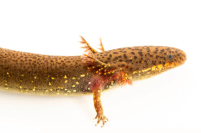 Photo: A lesser siren, Siren cf. intermedia, collected from a tributary of the Choctawhatchee River, Florida.