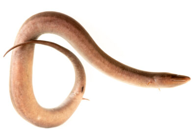 Photo: A one-toed amphiuma (Amphiuma pholeter) at the Oklahoma Aquarium.