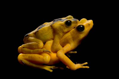 Critically endangered (IUCN) and federally endangered Panamanian golden frogs (Atelopus zeteki) in amplexus (in which the male rides the female prior to breeding) at Riverbanks Zoo.