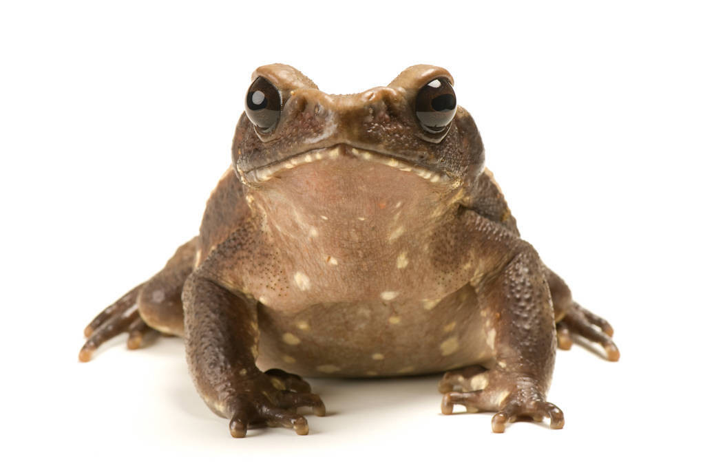 Smooth-sided toad (Rhaebo guttatus) at the National Aquarium in Baltimore.