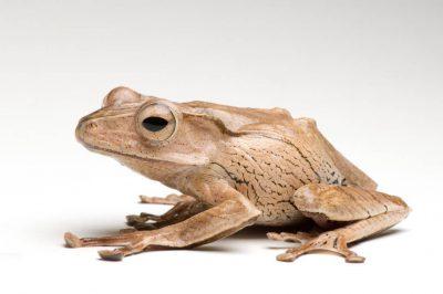 Borneo eared frog (Polypedates otilophus) at the National Aquarium in Baltimore.
