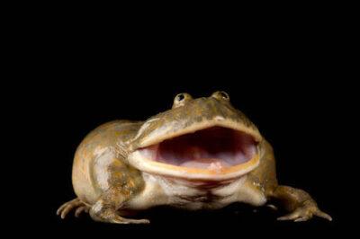 Budgett's frog (Lepidobatrachus laevis) at the National Aquarium in Baltimore.