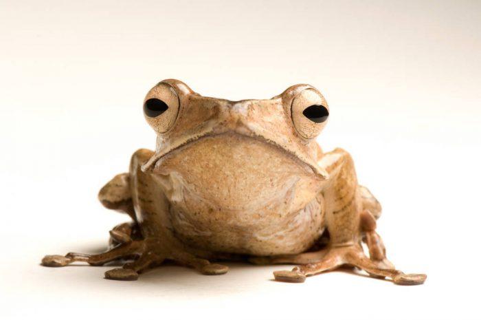 Bornean eared frog (polypedates otilophus) at the National Aquarium in Baltimore.