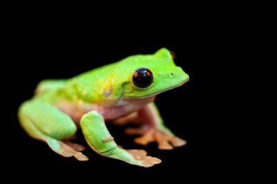 A critically endangered black-eyed treefrog (Agalychnis moreletii) at the National Aquarium in Baltimore.
