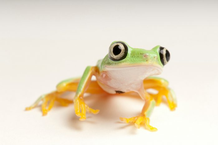 Picture of a critically endangered lemur leaf frog (Agalychnis lemur) at the National Aquarium in Baltimore.