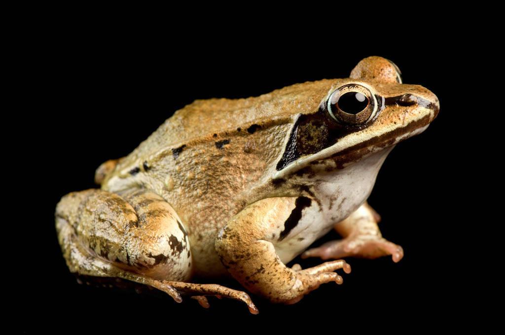 Wood frog (Lithobates sylvaticus or Rana sylvatica) at the National Aquarium in Baltimore.