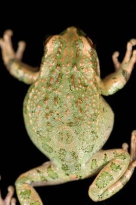 Photo: Peru marsupial frog (Gastrotheca peruana) at the National Aquarium in Baltimore.