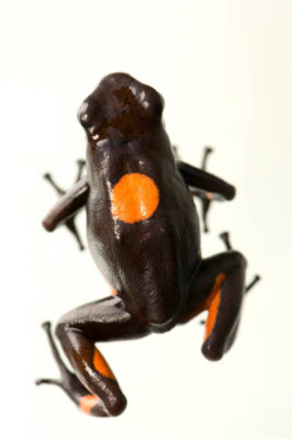 Photo: Bulls-eye poison dart frog (Oophaga (Dendrobates) histrionicus) at the National Aquarium in Baltimore.