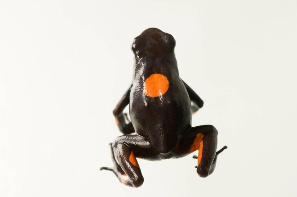 Photo: Bulls-eye poison dart frog (Oophaga (Dendrobates) histrionicus) at the National Aquarium in Baltimore.