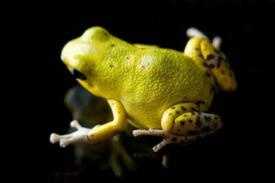 Picture of a Yellow phase of the strawberry poison dart frog (Oophaga (Dendrobates) pumilio) at the National Aquarium in Baltimore.
