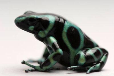 Photo: Green-and-black poison dart frog (Dedrobates auratus) at the Sedgwick County Zoo in Wichita, Kansas.