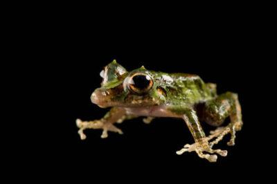 An endangered (IUCN) robber or muscial rainfrog/Panama robber frog (Pristimantis museosus) at Zoo Atlanta.