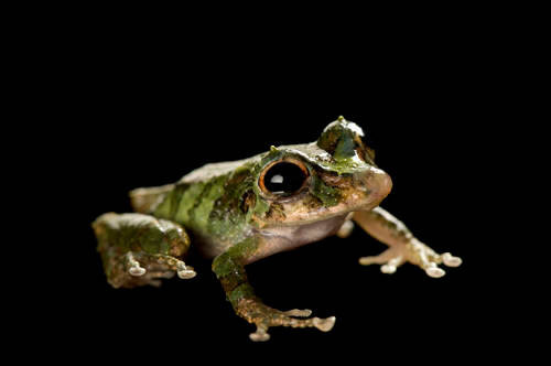 An endangered (IUCN) robber or muscial rainfrog/Panama robber frog (Pristimantis museosus) at Zoo Atlanta.