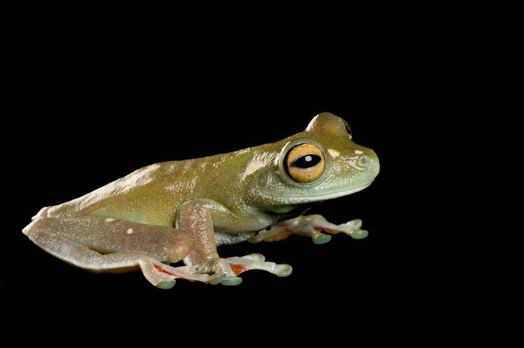 Canal zone treefrog (Hypsiboas rufitelus) at Zoo Atlanta.