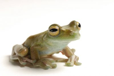 Photo: Canal zone treefrog (Hysiboas rufitelus) at Zoo Atlanta.
