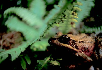 Photo: The red-legged frog, a species of special concern, in Clayoquot Sound, BC, Canada.