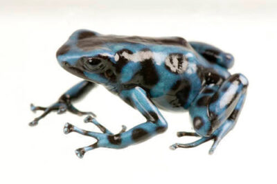 An El Cope morph of the green and black poison dart frog (Dendrobates auratus) at the Baltimore Aquarium. This animal is a descendant of the few remaining animals in El Cope National Park in Panama, where the chytrid fungus may wipe out the animal at any time.