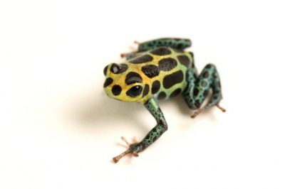 Imitating or mimic poison dart frog (Ranitameya imitator) at the Baltimore Aquarium. This animal is a descendant of the few remaining animals in El Cope National Park in Panama, where the chytrid fungus may wipe out the animal at any time.