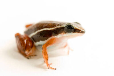 A red-legged brown dart frog or rainforest rocket frog (Silverstoneia flotator) at the National Aquarium in Baltimore.