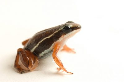 A red-legged brown dart frog (Silverstoneia flotator). The photo was taken at the National Aquarium in Baltimore.