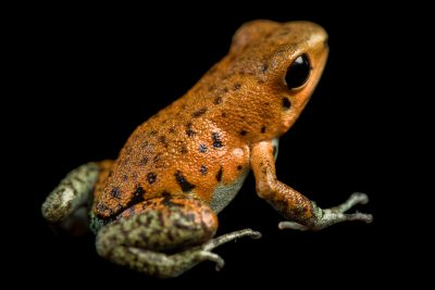 Picture of a strawberry dart frog (Oophaga (Dendrobates) pumilio).
