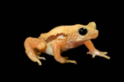 Kihansi spray toad (Nectophrynoides asperginis), an amphibian from Tanzania, at the Toledo Zoo. (IUCN: Extinct in the wild) .