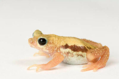 Kihansi spray toad (Nectophrynoides asperginis), an amphibian from Tanzania, at the Toledo Zoo. (IUCN: Extinct in the wild)