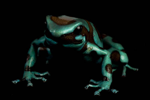 Green and black poison dart frog, Panama morph (Dendrobates auratus) from a private collection.