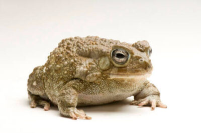 Photo: Egyptian or square-marked toad (Amietophrynus (Bufo) regularis) at the National Mississippi River Museum and Aquarium in Dubuque, IA.