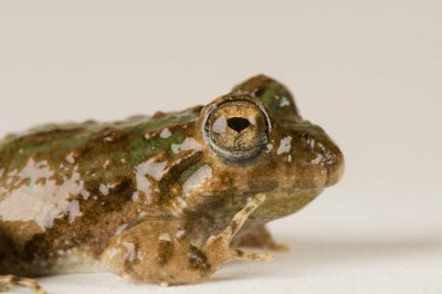 Blanchard's cricket frog (Acris crepitans blanchardi) at the Toledo Zoo.