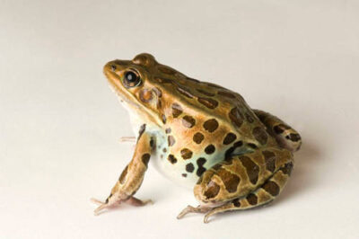 Northern leopard frog (Lithobates (Rana) pipiens) at the Toledo Zoo.