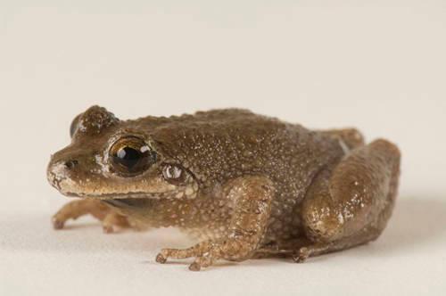 Mountain chorus frog (Pseudacris brachyphona) at the Toledo Zoo.