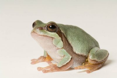 Pine Barrens treefrog (Hyla andersonii) at the Toledo Zoo.