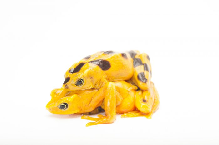 A pair of critically endangered (IUCN) and federally endangered Panamanian golden frogs (Atelopus zeteki) in amplexus at the Miller Park Zoo.