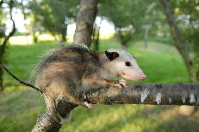 Picture of a baby opossum (Didelphis virginiana) near Greenleaf, KS.