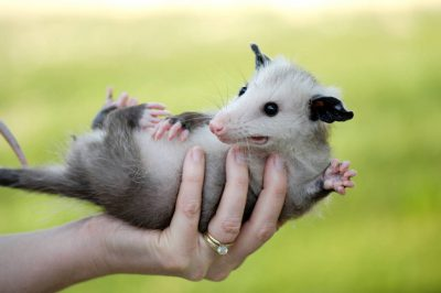A woman holds a baby opossum (Didelphis virginiana) near Greenleaf, KS.