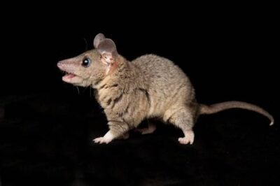 A studio portrait of a gray short-tailed opossum (Monodelphis domestica).