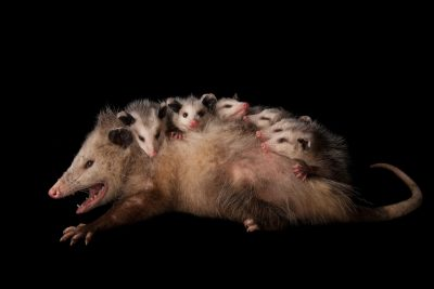 Picture of an opossum (Didelphis virginiana) with babies.
