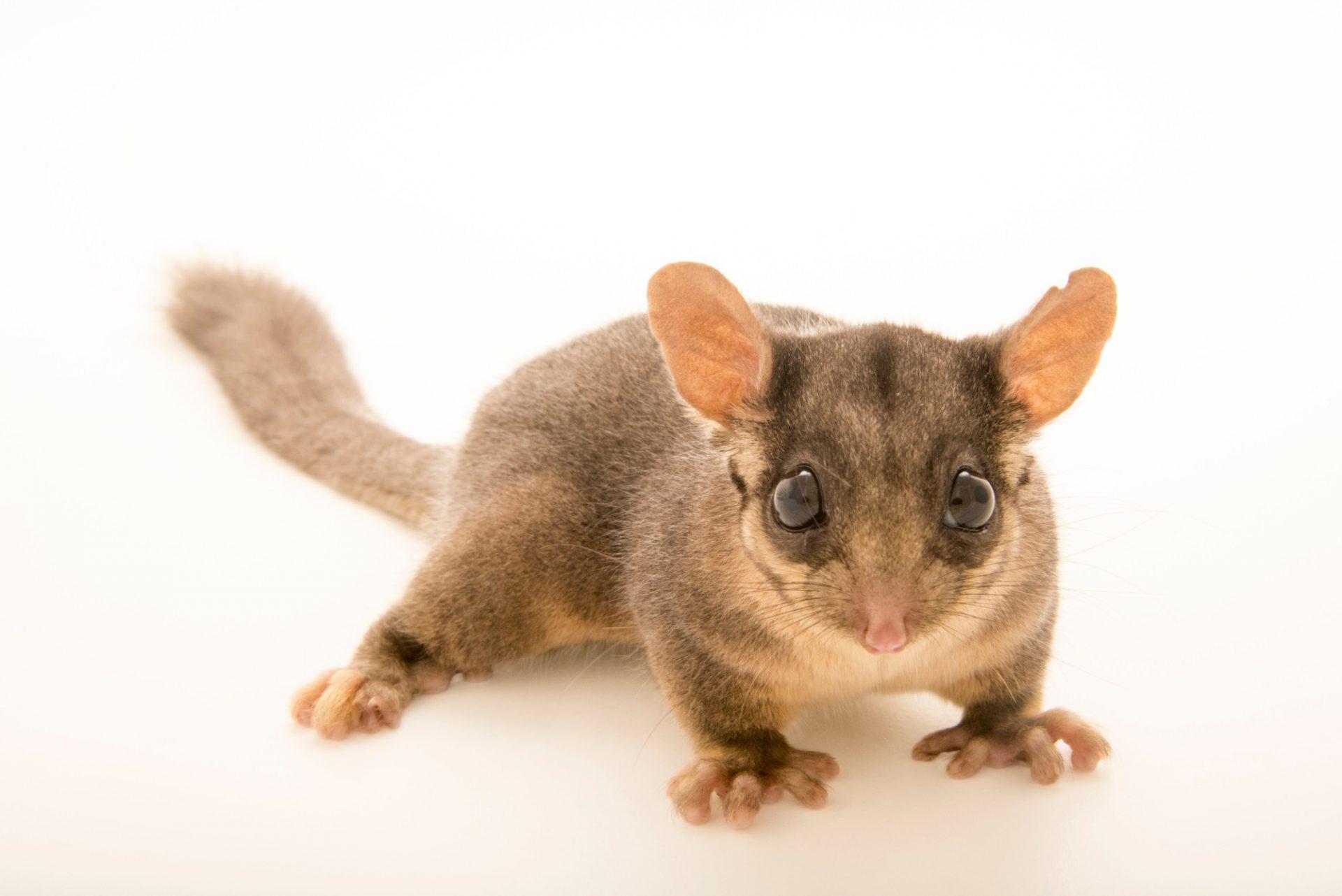 Photo: Critically endangered Leadbeater's possum (Gymnobelideus leadbeateri) at Healesville Sanctuary in Victoria, Australia.