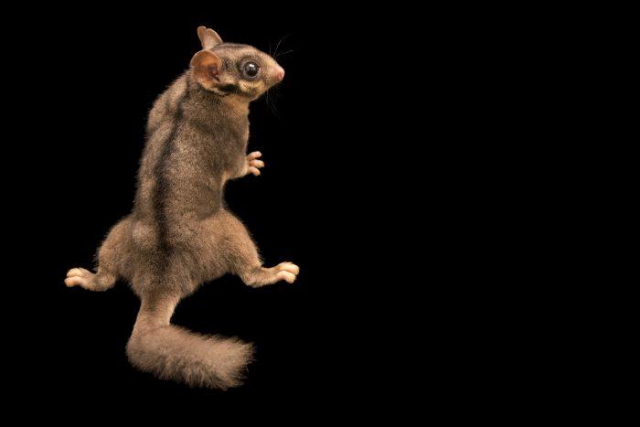 Photo: A critically endangered Leadbeater's possum (Gymnobelideus leadbeateri) at Healesville Sanctuary.