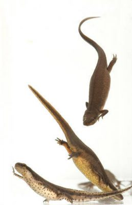 Central newt (Notophthalmus viridescens louisianensis) at the National Mississippi River Museum and Aquarium in Dubuque, IA.