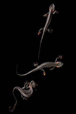 Photo: Black crocodile newt (Tylototriton taliangensis) at the National Mississippi River Museum and Aquarium in Dubuque, IA.