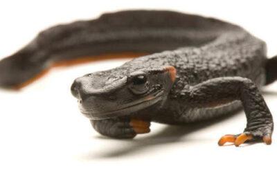 Black crocodile newt (Tylototriton taliangensis) at the National Mississippi River Museum and Aquarium in Dubuque, IA.