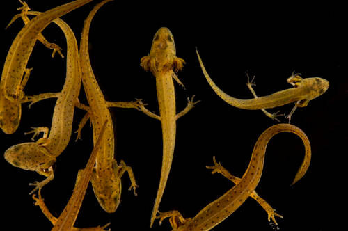 Larval central newts (Notophthalmus viridescens) from Missouri State University.