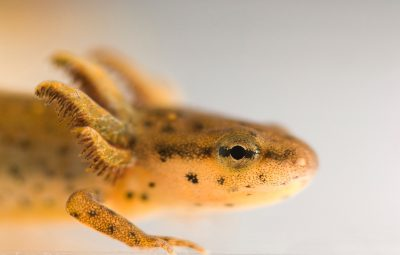 Close-up of a larval central newt (Notophthalmus viridescens) at Missouri State University.