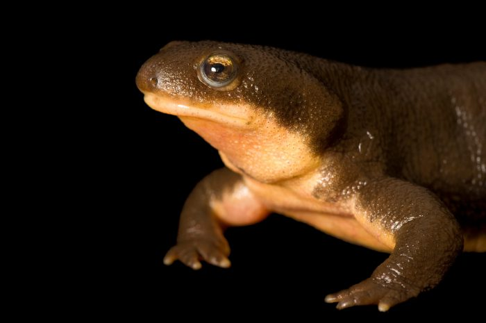 A rough-skinned newt (Taricha granulosa) at the Oregon Zoo.