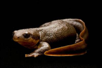 A rough-skinned newt (Taricha granulosa) at the Oregon Zoo.