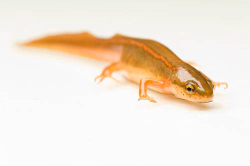 Photo: A striped newt (Notophthalmus perstriatus) at the Sedgwick County Zoo.