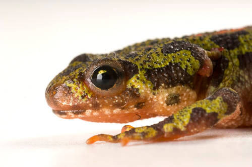 A marbled newt (Triturus marmoratus) photographed at Conservation Fisheries, a breeding center for rare native stream fish.